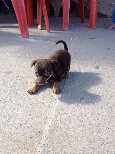 Puppy Mexico